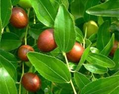 feuilles de jujubier